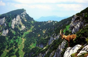 Mountain Sheep.Alps